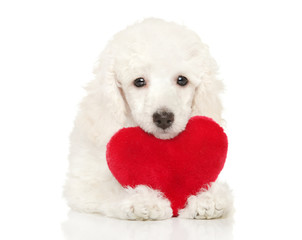 Wall Mural - Poodle puppy with red valentine heart