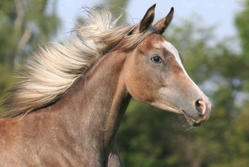 Portrait of running arabian horse