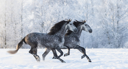 Fototapete - Two running grey Purebred Spanish horses