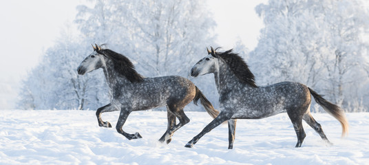 Fotoväggar - Two grey stallions run gallop in winter
