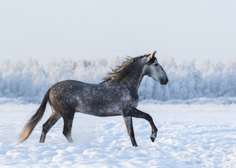 Wall Mural - Dapple-grey horse cantering on field at winter time