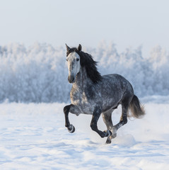 Fototapete - Purebred horse galloping across a winter snowy meadow