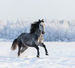 Fototapete - Gray Andalusian horse galloping on meadow in fresh snow