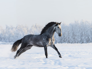 Fototapete - Dapple-grey horse galloping on field at winter time
