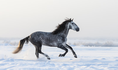 Wall Mural - Gray Andalusian horse galloping on meadow in fresh snow