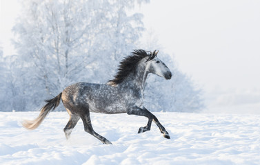 Dapple-grey stallion gallop across snowy field