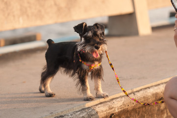 Miniature schnauzer walking with owner