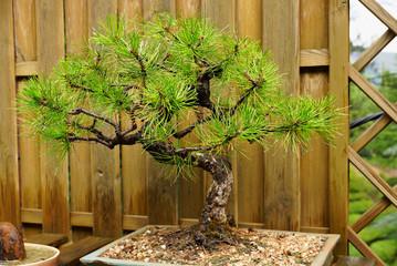 Карликовая крымская сосна. Дерево бонсай