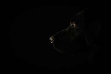 Portrait of the black labrador
