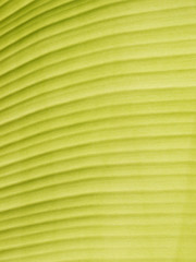 Banana leaf background with lines