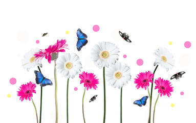 Gerber Daisy, and butterfly isolated on white background