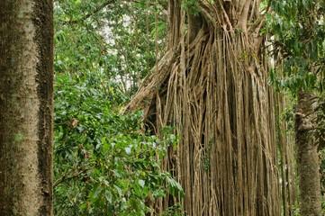 Strangler Fig (curtain fig) near Yungaburra, Atherton Tablelands, North Queensland, Australia