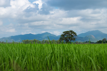 Green rice field at countryside background