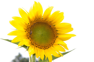 bees hive pollinate sunflower. Bee produces honey on a flower. S