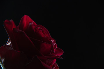 Beautiful red rose in a glass of water on a black background