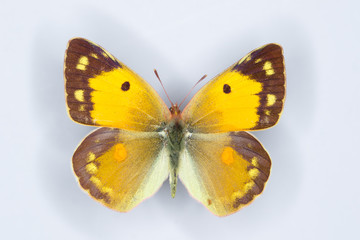 Female of Clouded yellow, Colias croceus  butterfly