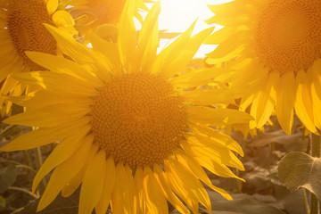 Sunflowers against sun