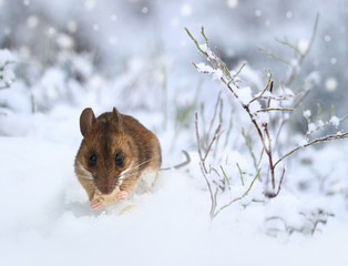 Cute little wood mouse on winter nature snow