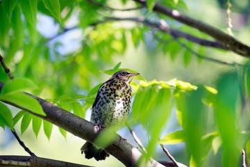 Spring. Snowbird sits on a branch. Sunlight illuminates the leav