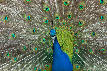 headshot of a blue peacock displaying his beautiful blue-green feather coat