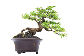 Bonsai pine tree against a white  background