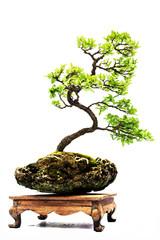 Bonsai pine tree against a white wall