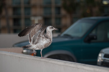 Grey seagull landing in the parking lot