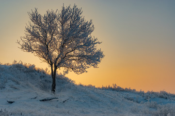 Lonely apricot tree on a hill at winter season.