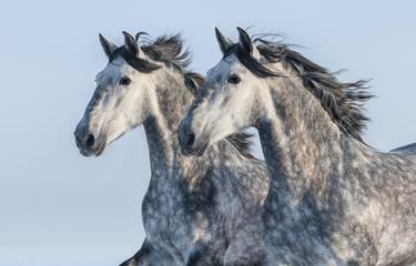 Fotoväggar - Two grey horses - portrait in motion