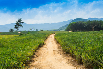 pineapple field and road with white cloud in Thailand