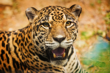 Adult Female Jaguar sitting on the rock looking into the camera