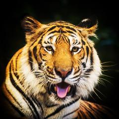 Tiger portrait of a bengal tiger.