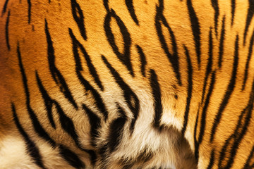 beautiful tiger fur - colorful texture with orange, beige, yello