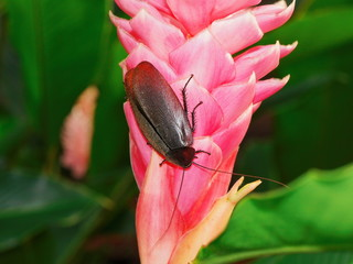 A cockroach Megaloblatta blaberoides on a flower