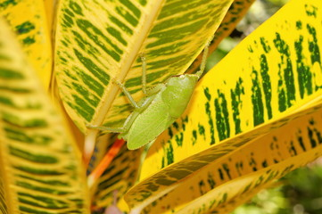 Brown-faced spear bearer katydid Copiphora hastata