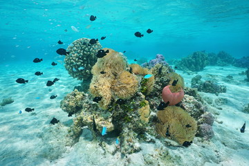 Fish with sea anemones and corals French Polynesia