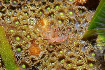 Underwater life sea worm Turbocavus secretus