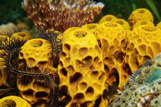 Close-up of yellow tube sponge Aplysina insularis