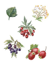 watercolor set of rosehips and hawthorn berries