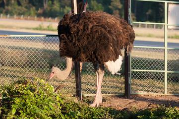 Ostrich in park
