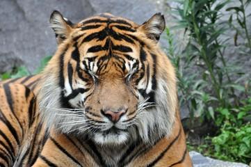 Tiger mit geschlossenen Augen