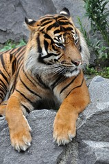 Tiger in Ruhe