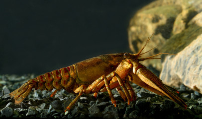 Eastern crayfish, orconectes limosus