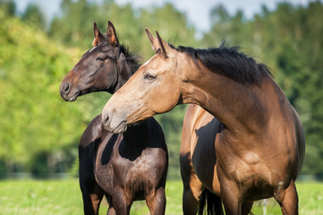 Fototapete - Portrait of beautiful mare with a foal in summer