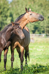 Beautiful mare with a foal standing on the pasture in summer