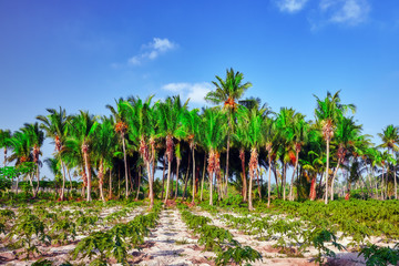 Coconut tree with fruits-coconuts,on a tropical island in the M