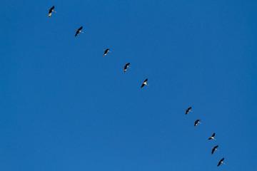 Flug der Graugans in Formation