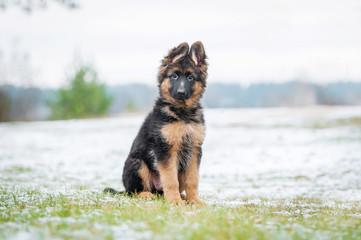 German shepherd puppy sitting on the lawn in winter