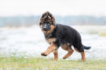German shepherd puppy running in winter