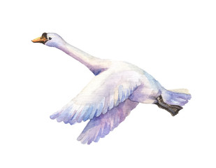 watercolor hand drawn illustration of goose flying. Watercolor poultry isolated on white background. Bird of passage fly.